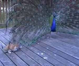 Cosa ci fa un pavone sotto la veranda?