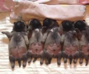 Questi cuccioli di carlino dormono in fila, guarda quello di sinistra!