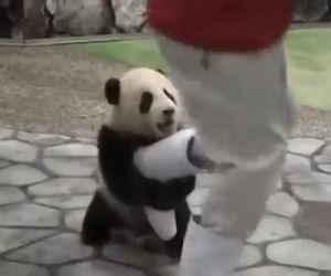 Vuole scattare una foto ai panda ma il cucciolo non lo lascia un attimo