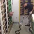 Lavori strani dal mondo: dare da mangiare a decine di cobra reali