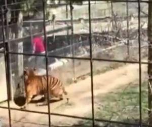Rischia la vita per prendere il cappello nella gabbia della tigre