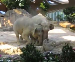 Due elefanti salvano il cucciolo