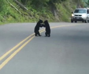 Due piccoli orsetti giocano nel bel mezzo della carreggiata