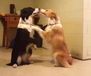 Due teneri cani si baciano non appena la padrona glie lo chiede