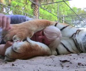 Due tigri come animali da compagnia, una storia incredibile