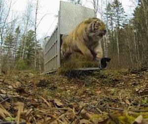 Un'enorme tigre siberiana viene liberata, ecco la sua reazione