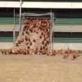 Allevatore filma i suoi polli ruspanti, ecco cosa accade ogni mattina