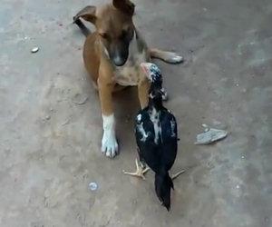 Gallina gioca con un cane