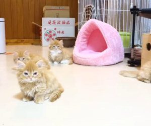 Ecco come questi dolci gattini sfidano un robot da combattimento