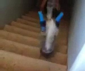 Gatto senza zampe scende le scale