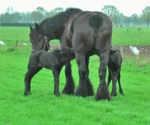 Una mamma partorisce due puledri gemelli, ecco la loro dolcezza