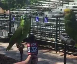 Una giornalista intervista 2 pappagalli, il risultato è incredibile!