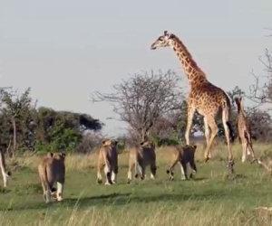 Giraffa protegge il figlio dai leoni