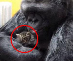 Il gorilla prende in braccio un gattino e lo coccola teneramente