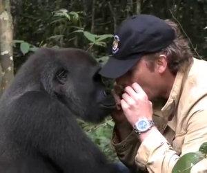 Salvò un gorilla 5 anni fa, ecco come reagisce oggi rivedendolo