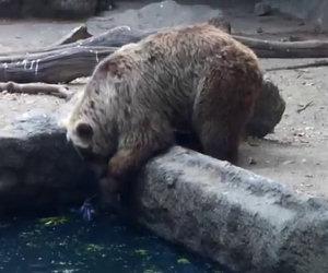 Grizzly salva un corvo