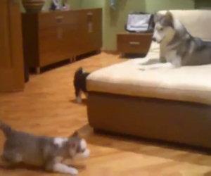 Husky gioca con i suoi cuccioli