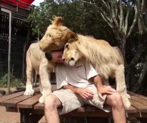 Il buongiorno di due leoni