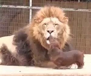 Il cane che bacia un leone