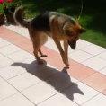Un pastore tedesco scopre per la prima volta la sua ombra