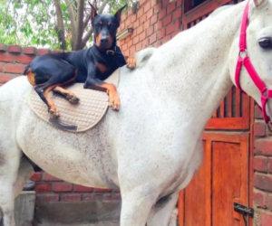 Lo chiamano il cane che sussurra ai cavalli, ecco perchè...