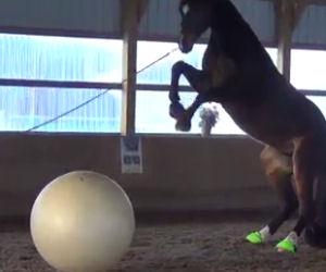 Mette una palla gigante davanti al cavallo, la sua reazione è buffa
