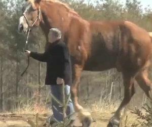 Ecco il cavallo più alto al mondo, vederlo fa davvero impressione!