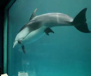 Il delfino nuota nervoso, ciò che sta per accadere è un vero miracolo