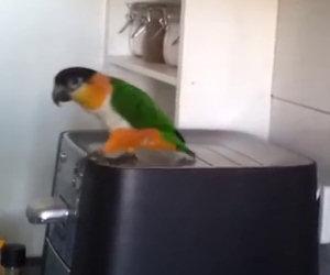 Sappiamo che i pappagalli sanno parlare, ma lui sa fare di più