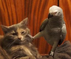 Il pappagallo vuole attenzioni dal suo amico, ecco come reagisce