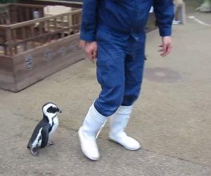 Il pinguino che ti segue ovunque