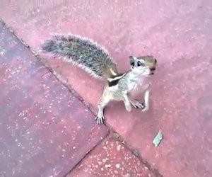 Il terribile attacco di uno scoiattolo