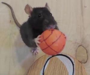 Odiate i ratti? Dopo questo video imparerete ad amarli