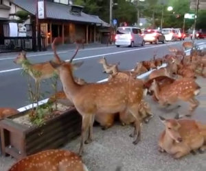 Invasione di cervi in Giappone