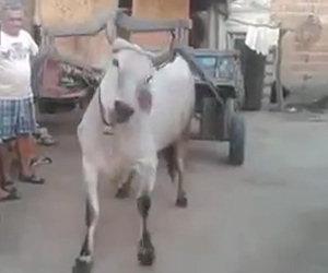 La mucca è pronta per lavorare
