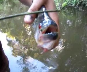 La potenza di un piranha
