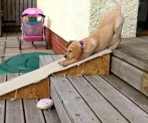 Labrador non vuole scendere le scale, ecco la soluzione che trova