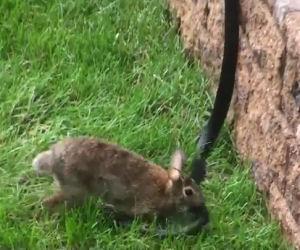 Il coniglio è attaccato da un serpente, la mamma corre a difenderlo