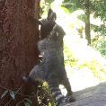 Questa mamma procione aiuta così il figlio a salire sull'albero