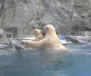 Il piccolo cade in acqua ma ecco come mamma orsa lo salva
