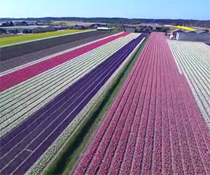Tutto lo spettacolo dei fiori in Olanda come non li avete mai visti