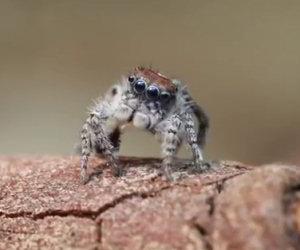 Non è un ragno come gli altri, appena si muove resterai di stucco