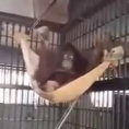 Ecco come un orango costruisce un'amaca. Geniale!