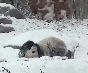 Panda felicissimo per la neve