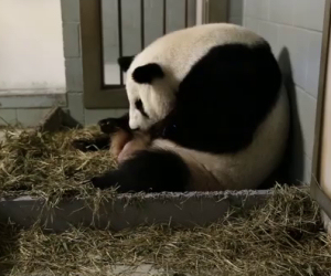 Mamma panda partorisce, poco dopo avviene una grande sorpresa