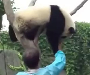 Un panda è incastrato su un albero, ecco cosa succede dopo