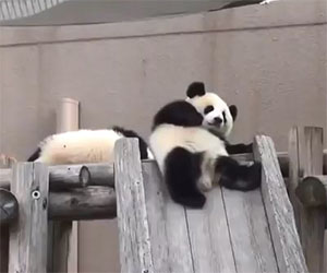 I panda più divertenti di sempre: la compilation
