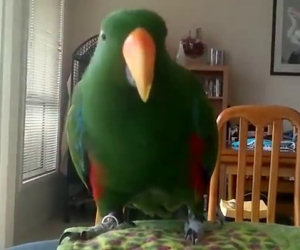 Il pappagallo ascolta la sua musica preferita, ecco cosa succede