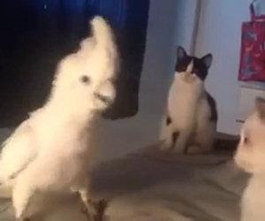Il pappagallo parla con i suoi amici gatti