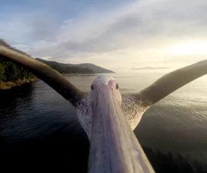 Pellicano impara a volare